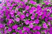 pic of petunia  - Full frame dense background display of bright pink or magenta petunias flowering in spring outdoors in a garden - JPG