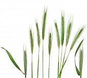 pic of tall grass  - Young Spikelet Barley of green meadow grass isolated on white background - JPG
