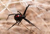 picture of black widow spider  - Black Widow spider outdoors on a web - JPG