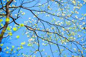 stock photo of dogwood  - White flowering dogwood tree  - JPG