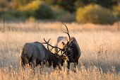 stock photo of sparring  - Two bull elk sparring in an open meadow at sunrise in Rocky Mountain National Park near Estes Park Colorado - JPG