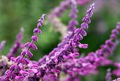 image of salvia  - Flowering beautiful purple flowers of salvia on green background - JPG