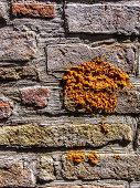 foto of lichenes  - A yellow lichen attached to a stone wall - JPG