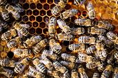 picture of swarm  - Macro shot of bees swarming on a honeycomb - JPG