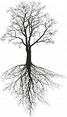 picture of walnut-tree  - Illustration of a Walnut tree without leaves with roots - JPG