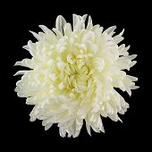 picture of chrysanthemum  - Top view close up of creamy white cremone chrysanthemum flower isolated on black background with square crop - JPG
