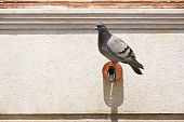 Pigeon On Pipe