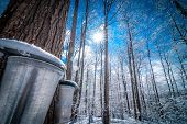 stock photo of bucket  - Two buckets await the right time for their content of sap to arrive - JPG
