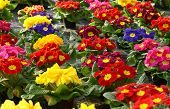foto of primrose  - Colorful vibrant selection of spring primroses growing in a plantation on a floriculture farm or nursery - JPG