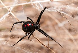 image of black widow spider  - Black Widow spider outdoors on a web - JPG