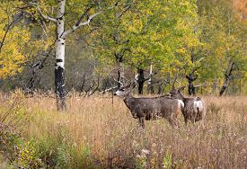 pic of bucks  - A large mule deer buck standing in a meadow with aspen trees in the background in Rocky Mountain National Park near Estes Park Colorado - JPG