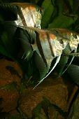 Escalares (pterophyllum Scalare)