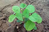 pic of soybeans  - Green cultivated young soybean plant close up - JPG