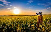 foto of rape-field  - Sundown and idyllic landscape of yellow rape field - JPG
