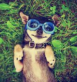 stock photo of goggles  -  a cute chihuahua wearing goggles in the grass  - JPG