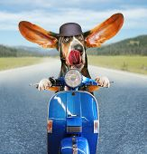 pic of basset hound  -  a basset hound riding on a scooter with his ears flapping and his tongue licking his nose on a highway background  - JPG