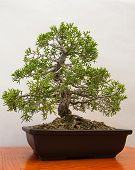 image of bonsai  - Miniature Juniper Bonsai tree contained in half pot - JPG