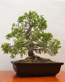 stock photo of juniper-tree  - Miniature Juniper Bonsai tree contained in half pot - JPG