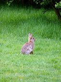 stock photo of thumper  - portrait of wild rabbit in green grass