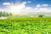 Vineyard in Thailand under the sunlight