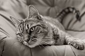 Tabby In Black And White