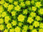 Yellow Green Spurge