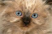 Young Himilayan Kitten Face