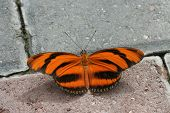 Banded Orange Longwing (Dryadula Phaetusa)
