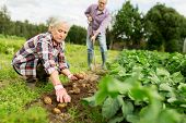 farming, gardening, agriculture and people concept - senior couple planting potatoes at garden or fa poster