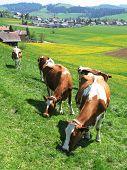 Cows among scenic hills in Emmental region, Switzerland