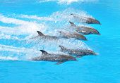 picture of grampus  - Dolphins - JPG