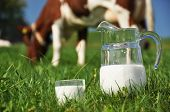 Jug of milk and cow