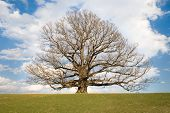 Second Oldest White Oak Tree In Usa
