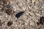 picture of obsidian  - broken obsidian arrowhead or other stone tool on the ground - JPG