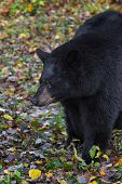 Black Bear (ursus Americanus) Looks Left Against Leafy Ground - Captive Animal poster