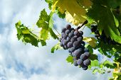 grape of black vine ripe
