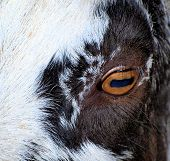 picture of cashmere goat  - eye of goat - JPG