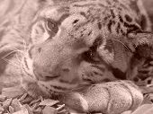 foto of ocelot  - Head of ocelot in the sepia colors - JPG