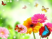 image of butterfly flowers  - colored gerberas flowers with exotic butterflies - JPG