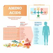 Amino Acids Vector Illustration. List With Food And Its Essential Acids. Healthy And Well Balanced N poster