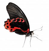 Red exotic butterfly isolated on white background