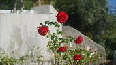 Roses In The Backyard Are Growing Beautiful. Beautiful Red Roses Grow On The Plantation. poster