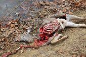 toten Hirsch von Kojoten getötet