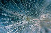 Beautiful Dew Drops On A Dandelion Seed Macro. poster