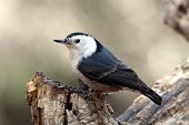 White-Breasted Nuthatch On Tree