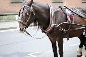 A horse with harness for a carriage in the city.