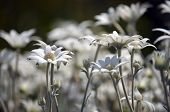 Stand Of Wild Australian Native Flannel Flowers, Actinotus Helianthi, Growing After A Bushfire In Ka poster