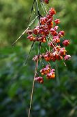 seeds of the spindle tree (Euonymus europaeus)