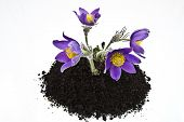 Spring violet flowers in soil. Pulsatilla pratensis