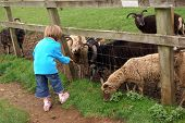 image of childrenwear  - Young girl feeding sheep through a wooden fence. Love for nature. Being kind